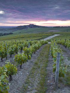 Vineyards, Sancerre, Loire Valley, France