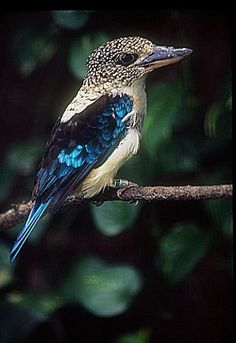 Aru giant kingfisher or Spangled