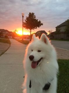 Dog Wallpaper, Dog Wallpaper for iPhone, Dogs Wallpaper, Lovely Fluffy Dog wallpaper Samoyed Dogs Samoyed Puppies For Sale, Samoyed Dogs, Cute Dogs And Puppies, Baby Dogs, Pet Dogs, Doggies, Pets, Maltese Dogs, Beautiful Dogs