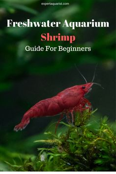 Summary: Betta Fish also known as Siamese fighting fish; Mekong basin in Southeast Asia is the home of Betta Fish and is considered to be one of the best aquarium fishes. Ghost Shrimp, Tiger Shrimp, Pet Shrimp, Freshwater Aquarium Shrimp, Tropical Freshwater Fish, Big Aquarium, Planted Aquarium, Aquarium Setup, Aquarium Design