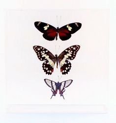 """Luck Comes In Threes, Trio of Butterflies, 7"""" x 7"""" x 2"""" Acrylic Case by MonarchButterflyCo on Etsy https://www.etsy.com/listing/476545923/luck-comes-in-threes-trio-of-butterflies"""