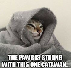 #catawan #strong #paws #cat #cute #animalsmemes