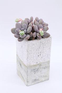 "Pachyphytum oviferum (""Moonstones"" or ""Sugaralmond plant"") succulent"