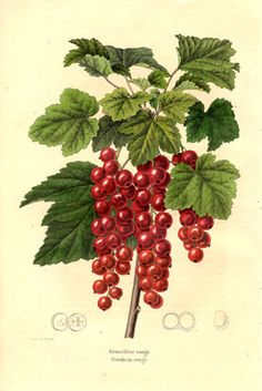 genusspecies:    The redcurrant (or red currant), Ribes rubrum, is a member of the genus Ribes in the gooseberry family Grossulariaceae, native to parts of western Europe (Belgium, France, Norway, Sweden,Germany, Netherlands, northern Italy, northern Spain, Portugal and Poland). It is a deciduous shrub normally growing to 1-1.5 m tall, occasionally 2 m, with five-lobed leaves arranged spirally on the stems.  (via Grossulariaceae)