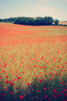 field of poppies  http://25.media.tumblr.com/tumblr_m4gzhlQY1d1qb5t88o1_r1_500.png