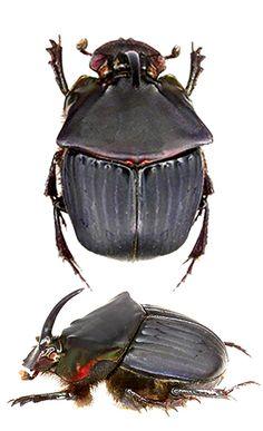 Phanaeus pyrois