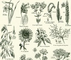 A 1922 large size antique print taken from a french #Larousse encyclopedia gathering wonderful illustrations about : races of hens and roosters, cattle & ovine breeding, car... #larousse #dictionary #illustration #drawings #physiology #plants #flowers #inflorescence