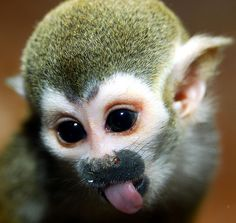 Animals Zoo Park: Pictures of Monkeys, Spider Monkey, Baby Capuchin Monkey, Squirrel Monkey Ecuador Animals, Zoo Animals, Cute Animals, Wild Animals, Funny Animals, Primates, Amazon Animals, Types Of Monkeys, Monkey Types