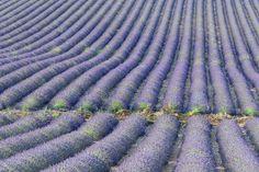Lavendelfeld auf der Hochebene von Valensole. Lavender field on the Valensole plateau. Provence, Valensole, Felder, Waves, Outdoor, Landscape Photography, Outdoors, Ocean Waves, Outdoor Games