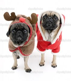 Shop Merry Christmas from the Pugs Square Sticker created by Personalize it with photos & text or purchase as is! Pugs In Costume, Pet Costumes, Animal Costumes, Amor Pug, Cute Pugs, Funny Pugs, Christmas Costumes, Pug Love, Costumes