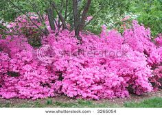 AZALEA - Everywhere you look in East TX right now (March-April) in white, pinks, reds, purples.