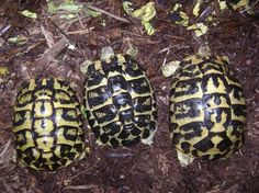 Testudo Hermanni Hermanni. Comparison shot with a new Spanish one on the left, an Italian in the middle and French on the right.