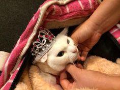 Twitter / nekozamuraiinfo: 玉さま待機中。 #猫侍 Neko, Cat Hat, Samurai, Funny Cats, Cute Animals, Hilarious, Kitty, Hats, Twitter