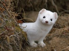 WHY don't I have a stoat? They have the sweetest little faces! Beautiful Creatures, Animals Beautiful, White Ferret, Pet Ferret, Cute Ferrets, Fox Pictures, Coyote Hunting, Little Critter, Tier Fotos