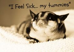 Common health problems for pet sugargliders. Let's get your exotic pet back to health.
