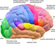 Brain Parts And Functions, Brain Anatomy And Function, Human Brain Anatomy, Anatomy Organs, Córtex Cerebral, Cerebral Cortex, Human Brain Diagram, Primary Motor Cortex