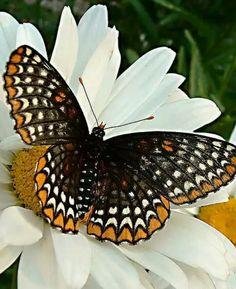 Baltimore Checkerspot (Ephydryas phaeton)