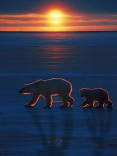 Polar bears walking in the beautiful silent Arctic sunset.
