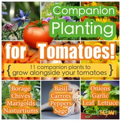 11 Companion Plants to Grow With Your Tomatoes! Container Vegetables, Planting Vegetables, Growing Vegetables, Vegetable Gardening, Varieties Of Tomatoes, Growing Tomatoes In Containers, Grow Tomatoes, Dried Tomatoes, Baby Tomatoes