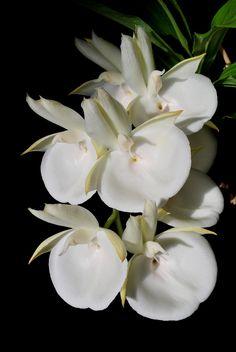 Catasetum pileatum white - Flickr - Photo Sharing!