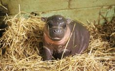 On Boxing Day, this baby pygmy hippo entered the world.