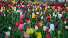 Tulips Red Vivid Color Nature Turkey Spring Plant  Pinterest // carriefiter  // fashion street wear street style photography style hipster vintage design landscape illustration food diy art lol style lifestyle decor street stylevintage television tech science sports prose portraits poetry nail art music fashion style street style diy food makeup lol landscape interiors gif illustration art film education vintage retro designs crafts celebs architecture animals advertising quote quotes disney…