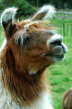 I LOVE LLAMAS! But how can you keep calm when you are in love with llamas? Farm Animals, Funny Animals, Cute Animals, Animal 2, Animal Faces, Cute Llama, Llama Llama, Reptiles, Mammals