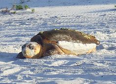 South Walton Turtle Watch: Turtle Season Begins on May 1st http://30a.com/south-walton-turtle-watch/