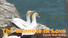 The gannets in love Kauri Tree, Auckland, New Zealand, Travel Guide, Music, Travelling, Projects, Zero, Youtube
