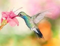 Картинки по запросу колибри