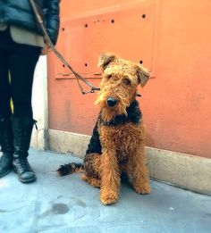 Airedale Terrier #rome #italy #airedale