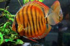 Symphysodon, colloquially known as Discus Fish.