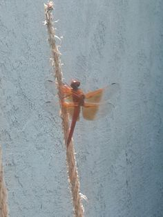 This beautiful dragonfly is still enjoying the mosquito larvae from the pond.