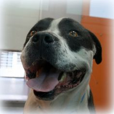 SPIKE-ID#A706497    My name is SPIKE.    I am a male, black and white Pit Bull Terrier.    The shelter staff think I am about 3 years old.    I have been at the shelter since Mar 26, 2013.