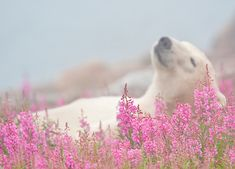 Wildlife and nature photographer Dennis Fast captured a gorgeous set of photos showing polar bears rolling around in a colorful field of fireweed. The pictures show the polar bears sprawled out in the soft field, relaxing and having a merry time. Fast was on a polar bear adventure organized by Churchill Wild in Manitoba, Canada. It was during a period in which the polar bears are patiently waiting for ice to return to their winter hunting grounds.