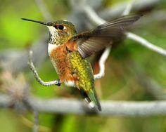 oregon wildflowers hummingbirds - Google Search