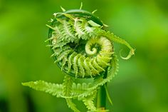 Ostrich Fern   Philip Schwarz Photography Blog Ostrich Fern, Sacred Geometry, Ferns, Trees To Plant, Nature Photography, Tattoo Ideas, Flowers, Blog, Beautiful