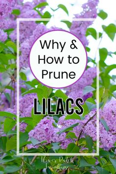 Before you prune lilacs you need to know why to figure out how. Come see how you prune for different reasons for the best blooms of all each year. Healthy lilacs depend on good pruning habits. Rejuvenate even the oldest lilac bushes! Garden Yard Ideas, Diy Garden Decor, Lawn And Garden, Backyard Ideas, Lush Garden, Diy Decoration, Garden Shrubs, Garden Plants, Garden Landscaping