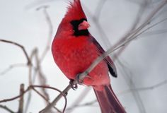 The ILLINOIS State Bird is the Cardinal.