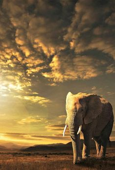 A beautiful African elephant pictured here at sunset. Nature Animals, Animals And Pets, Cute Animals, Wild Animals, African Elephant, African Animals, African Safari, Wildlife Photography, Animal Photography