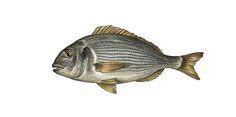 Aegean Fish Illustrations on Behance