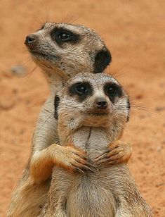 Meerkats Posing by C Amazing World beautiful amazing