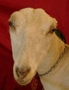 LaMancha Goat (born earless).. one of our favorite vendors at the farmers market has two of these (a momma and a baby just born a few days ago) and they are so cute! I can't wait until we have our own homestead!