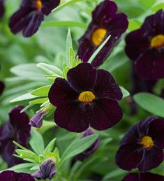 Calibrachoa 'Can Can Black Cherry' [calibrachoa 'Black Million Bells', plugs available from Sarah Raven – apparently flowers copiously and requires … Long Flowers, Dark Flowers, Beautiful Flowers, Petunia Tattoo, Blossom Garden, Container Plants, Flower Containers, Garden Plants, Planting Flowers