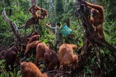 NYARU MENTENG, INDONESIA 3/16/2016 Orphaned orangutans and their keepers at a rehabilitation center. Mass deforestation efforts are destroying the habitat of the endangered apes. Kemal Jufri for The New York Times