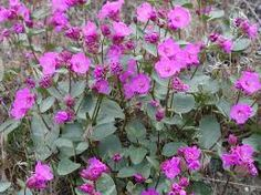 Macfarlane's four-o-clock (Mirabilis macfarlanei) (Wild) Landscaping Plants, Garden Plants, Colorado Landscaping, Clock Flower, Four O Clock, Plant Guide, Front Range, Water Wise, Garden Of Eden