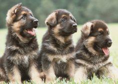 German shepherd puppiess!!    Like, repin, share! :)