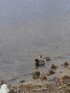 On onnistu täällä sorsa kuva sinisorsa samalla naaras heinäsorsa uivat järven rannalla olavilinaassa lähi luonto