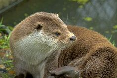 Otters | Stock photo of british otters at the Otter Trust, Bungay, Suffolk ...