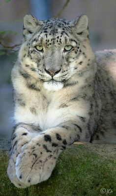 513 Best Snow Leopard images in 2019 | Animals beautiful